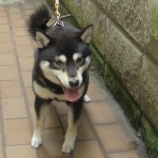 豆柴 成犬(オス)2