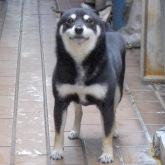 豆柴 豆柴犬 成犬(メス)8