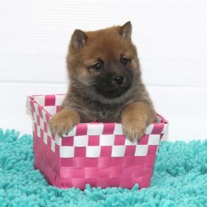 豆柴 小さな両親犬から生れた赤の小さな可愛い女の子♪