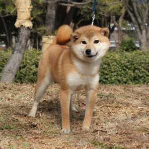 豆柴 豆柴交配犬 5