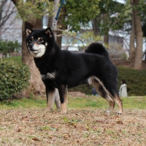 豆柴 豆柴交配犬 3
