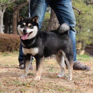 豆柴 豆柴交配犬 6