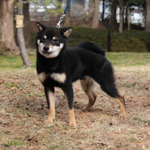 豆柴交配犬 4