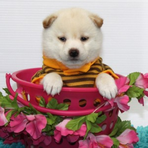 豆柴 ぬいぐるみのような可愛い白豆柴ちゃんっ♪