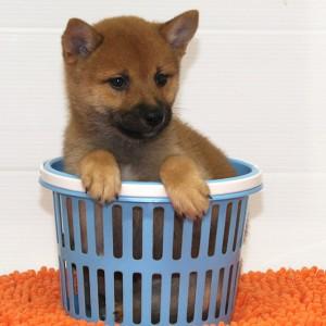 豆柴 小さな両親犬から産まれた小ぶりな男の子★
