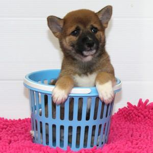 豆柴 将来が楽しみな美犬です♪