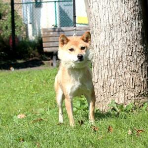 豆柴犬 成犬(メス)12