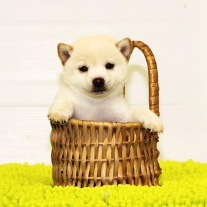 豆柴 3.5㎏の両親犬から生まれた小さい元気な男の子☆
