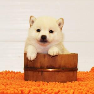 豆柴 3.5㎏の両親犬から生まれた小さいお茶目な女の子♪