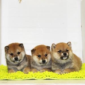 レベルの高い小ぶりな豆柴3兄弟☆