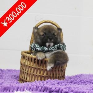 豆柴 600gのとても小さな男の子☆