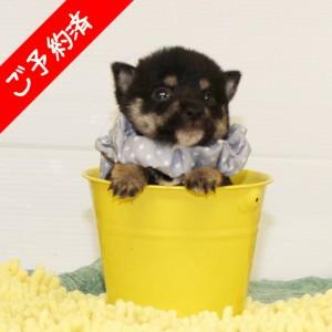 豆柴 とても小さくて可愛い男の子☆