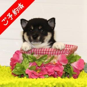 豆柴 コントラストがとてもキレイな女の子♪