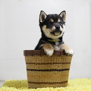 豆柴 コントラストがとてもキレイな男の子☆